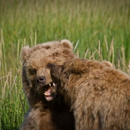 alaskan-brown-bear-35-edit