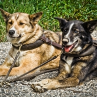 sled-dogs-edit