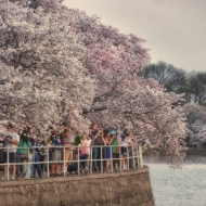 Cherry Blossoms-7428_HDR-Edit
