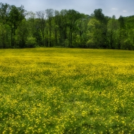 Buttercups in Charlestown