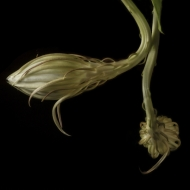 night blooming cereus-2000
