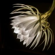 night blooming cereus-2010